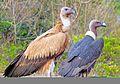 Eurasian Griffon Vulture.jpg