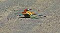 European Bee-Eater (Merops apiaster) (6032381433).jpg