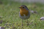 European robin in japanese garden in Toulouse - facing left.jpg