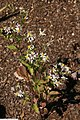 Eurybia divaricata 3zz.jpg