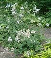 Eurybia macrophylla Aster macrophyllus BotGardBln07122011A.jpg