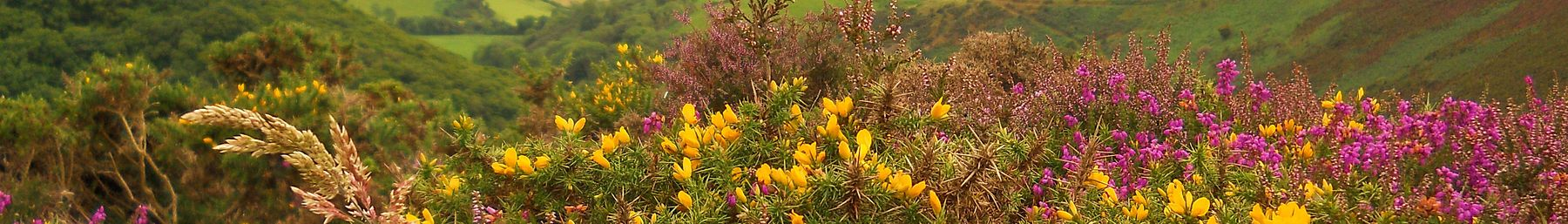 Heather atop Exmoor