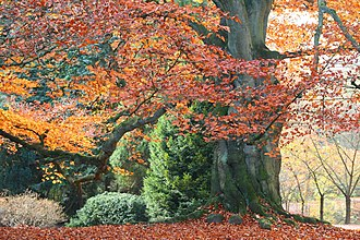Fagus sylvatica - Copper beech in autumn