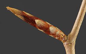 Fagus sylvatica bud.jpg