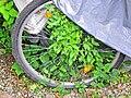 Fahrrad eingewachsen 2014 by-RaBoe.jpg