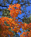 Fall maple, Fourth of July Canyon NM.jpg