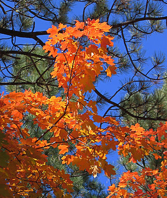 Manzano Mountains - Fall maple, Fourth of July Canyon
