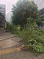 Fallen trees in Shenzhen due to 2018 Typhoon Mangkhut 09.jpg