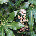 Fatsia japonica Portland Oregon 01b.jpg