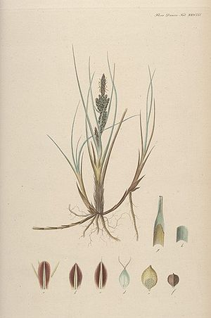 Flora Danica - Carex trinervis Degl. Plate 2665 from Flora Danica, part 45 (1861)