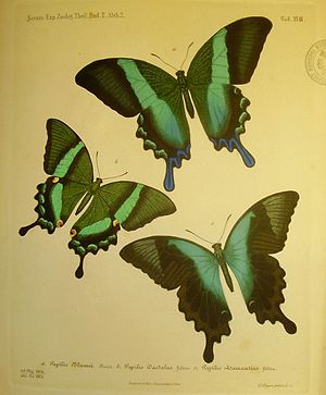 Baron Cajetan von Felder - Plate from Felder's work Reise Fregatte Novara illustrating the swallowtail butterfly