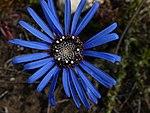 Felicia amoena subsp. latifolia dark disc front.jpg
