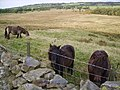 Fell Ponies - geograph.org.uk - 653211.jpg
