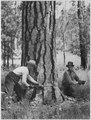 Felling crew at work on the Kartar unit - NARA - 298687.tif