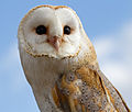 Female Barn Owl 4 (6942358307).jpg