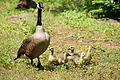 Female Canada goose with goslings.JPG