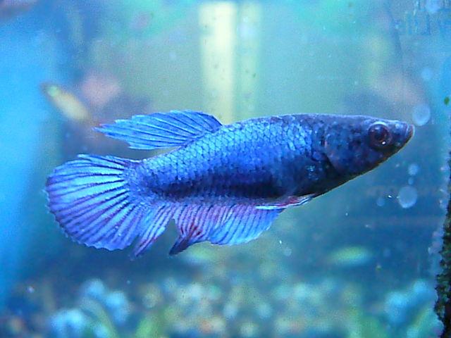 File female betta wikimedia commons for Betta fish size