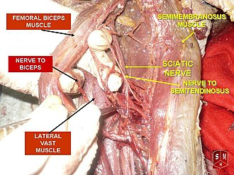 Semimembranosus muscle - Image: Femoral biceps muscle