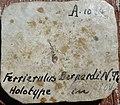 Ferrierelus Bernardi N. THEOBALD. Holotype.jpg