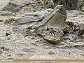 Ferruginous Pochard (Aythya nyroca) (46579074851).jpg