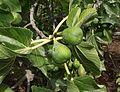 Ficus carica 'Flanders'.jpg