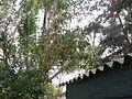 Ficus sycomorus 0002.jpg