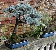 Filoli Bonsai spruce.jpg