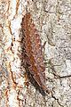 Firefly larva - Pyractomena species, Julie Metz Wetlands, Woodbridge, Virginia.jpg
