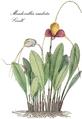 Fl. Columb.-0163-CLIII-Masdevallia caudata-2.png