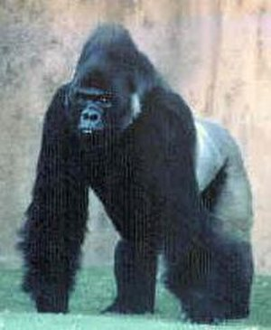 Incident (Scientology) - A black gorilla was said by Hubbard to have been used by the Hoipolloi to implant the Gorilla Goals.