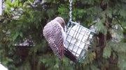 File:Flicker Woodpecker eating suet.ogv