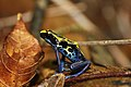 Flickr- grenouille dendrobate.jpg