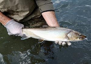 Bull trout - ODFW sampling bull trout on Oregon's Metolius River