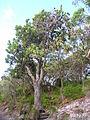 Flickr - brewbooks - Banksia, Noosa National Park.jpg