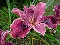 Flickr - brewbooks - Iris in Our Garden - May, 2008 (5).jpg