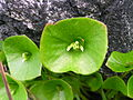 Flickr - brewbooks - Miners Lettuce on Serpentine Rock.jpg