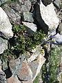 Flickr - brewbooks - Saxifrage, Ascending to Fortune Creek Pass, Teanaway.jpg