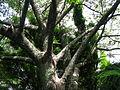 Flickr - brewbooks - Spiny trunk of Ceiba speciosa tree Brisbane Botanic Gardens, Mount Coot-tha.jpg