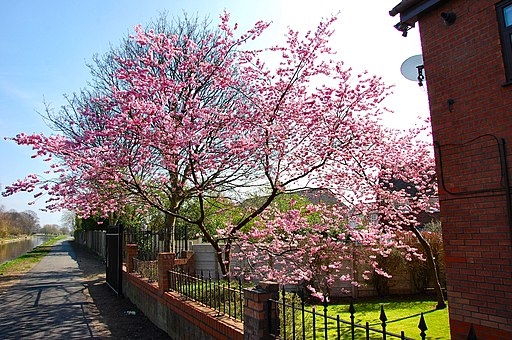Flickr - ronsaunders47 - BLOSSOM ON THE CANAL SIDE. 2.
