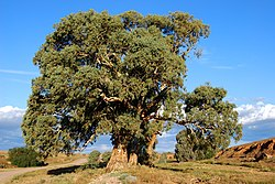 Flinders redgum near sunset.JPG