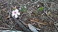 Flor de uma Planta, encontrada em alguns períodos na Mata Cipó Derivação da Mata Atlântica-Ba.jpg