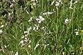 Flora della Sardegna 247 (09).JPG