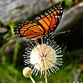 Florida Viceroy on Buttonbush (5150793020).jpg