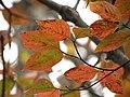 Flowering Dogwood (30877330252).jpg