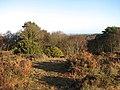 Flowering gorse - geograph.org.uk - 1085497.jpg