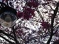 Flowers in Hehuanshan 02.jpg