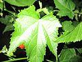 Flowers in Monsoon Seson 22.JPG