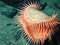 Fly-trap anemone.jpg