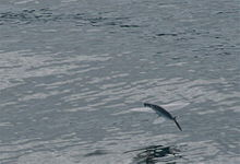 Flying Fish Bay of Islands NZ.jpg