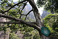 Fokienia hodginsii - Mount Sanqing 2015.09.08 11-09-52.jpg